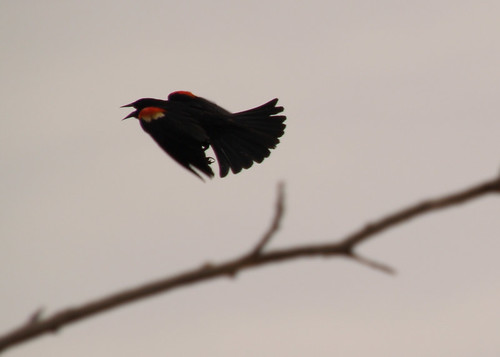 Red winged black bird flying