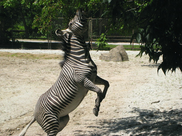 Show Jumping Zebra Jumping Zebra Flickr Photo