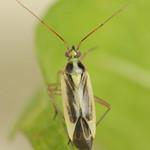 kétfoltos mezeipoloska - Stenotus binotatus