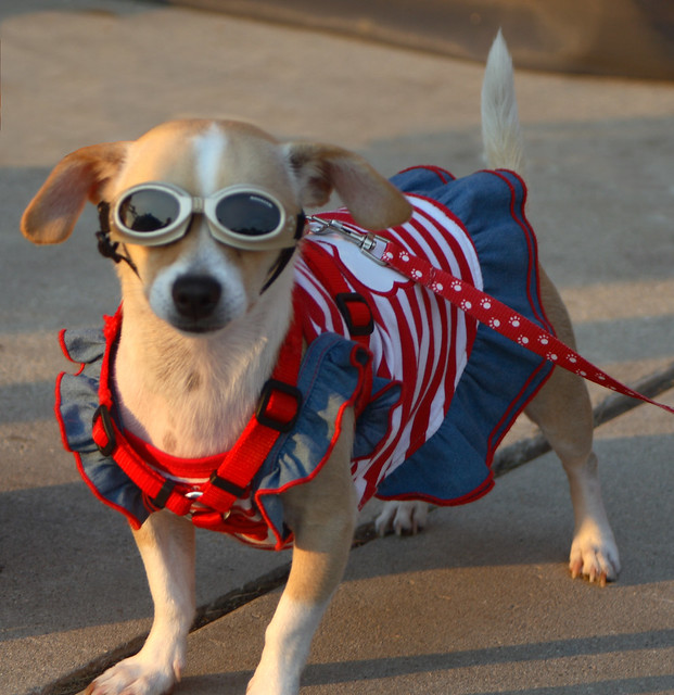 Patriotic Pampered Pocket Pooch Posing Proudly from Flickr via Wylio