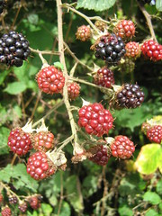 blackberry, berry, wine raspberry, flora, fruit, boysenberry, dewberry,