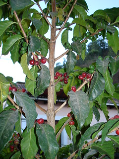 Un árbol de café con su fruto ~ coffee tree with its fruit, La Antigua, Guatemala