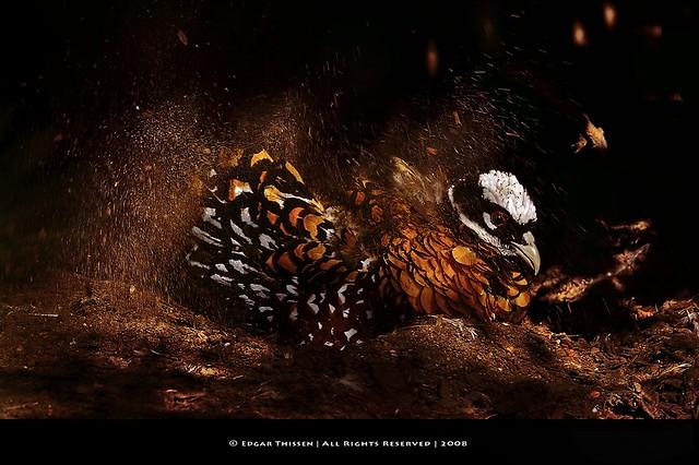 Reeve's Pheasant taking a dust bath