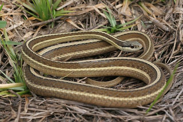 Eastern Ribbon Snake (...