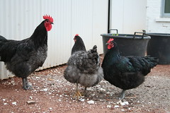 The Remaining Chickens
