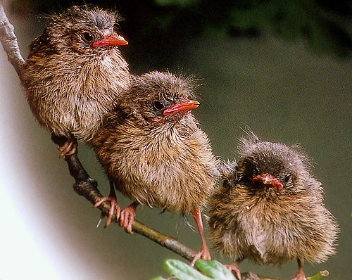 baby robins by coral.hen4800