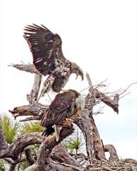 Bald Eagles Nesting at Tierra Verde, St Petersburg & Central Florida
