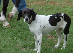 dog breed, animal, dog, pet, old danish pointer, small mã¼nsterlã¤nder, braque francais, drentse patrijshond, english coonhound, hunting dog, carnivoran, coonhound,