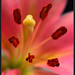 Pink Lilly Macro by Litehouseman