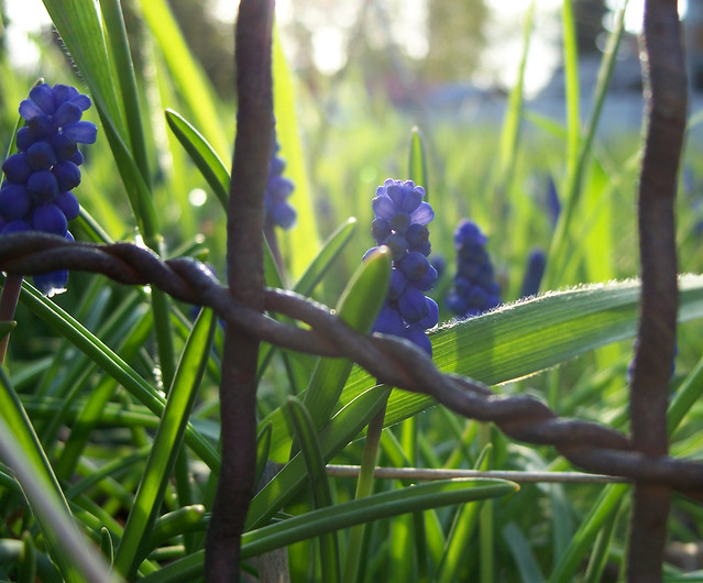 Grape hyacinths and a rusty wire fence | Flickr - Photo Sharing! Rusty