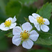 Woodland strawberry - Photo (c) Randi Hausken, some rights reserved (CC BY-NC)