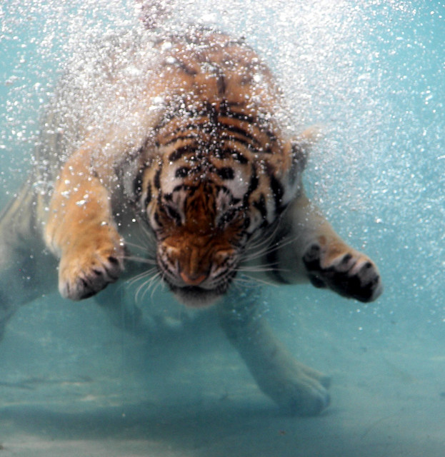 Diving Orange Tiger