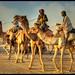 Camels, Lights & Shadows !