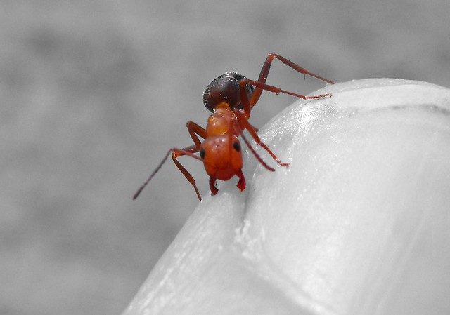 Ant bite | Flickr - Photo Sharing!