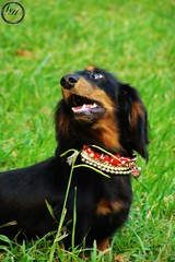dog breed, animal, dog, hovawart, pet, mammal,