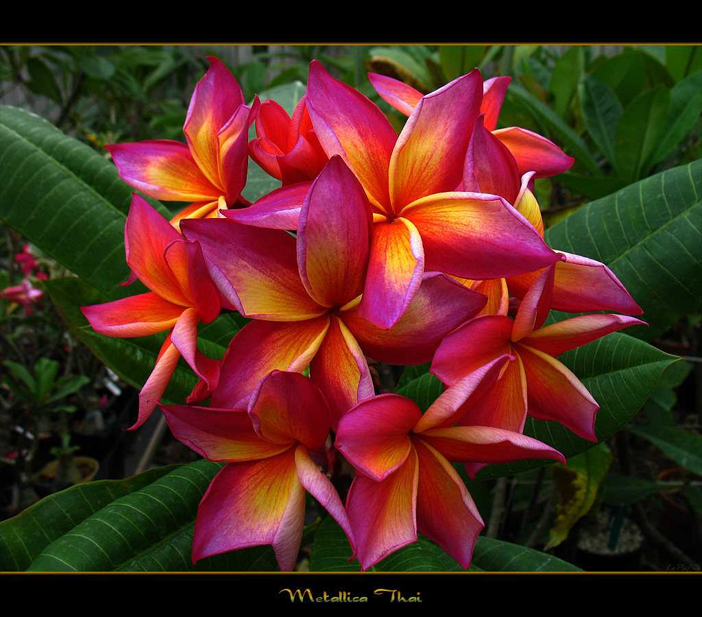 Rare Flowers The Plumeria Metallica Thai a photo on Flickriver