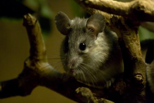 鼠類。(圖:Ashley Burton)