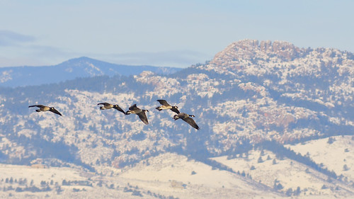 morning snow mountains bird nature birds animal geese colorado searchthebest bokeh fort wildlife birding flight fortcollins co openspace frontrange collins ornithology soe canadageese avian bif brr fpg specnature clff impressedbeauty aplusphoto fossilcreekreservior