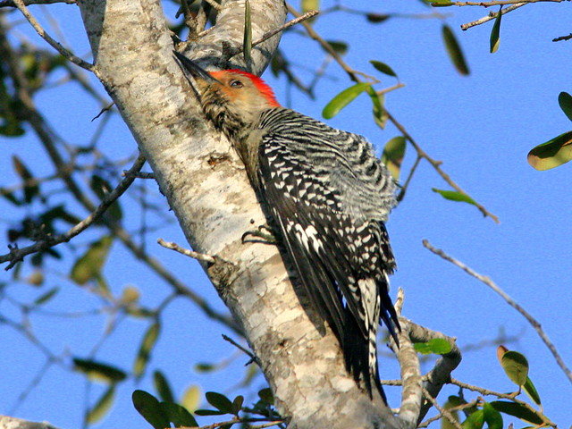Red-bellied Woodpecker Rubbing 20081231