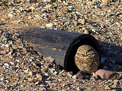 school arizona home az raptor owl burrowingowl subdivision