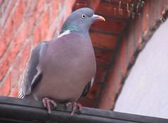 Columba palumbus (Wood Pigeon)