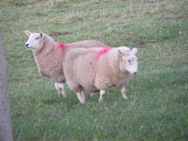 Evil sheep - photo#9