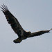Young bald eagle by gull@cyberspace.org