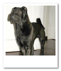 dog breed, animal, dog, pet, cane corso, guard dog, carnivoran,