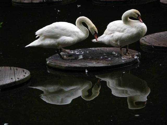 Holland - Keukenhof flower gardens - swans