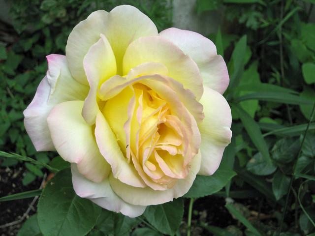 Header of a rose