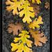 Oak Leaves, Autumn by G Dan Mitchell