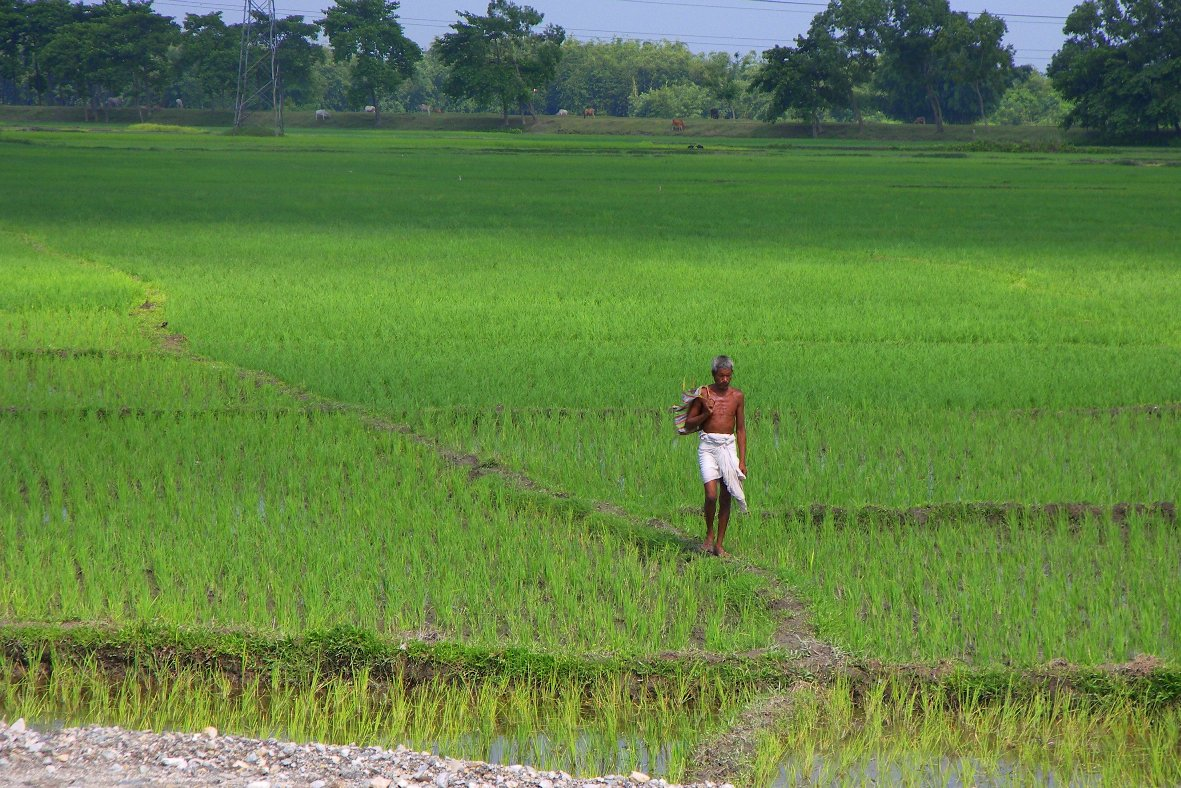 Rice field in Bihar, India