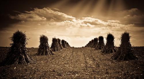 Corn Shocks - Autumn Icons