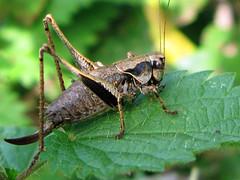 arthropod(1.0), locust(1.0), animal(1.0), cricket(1.0), invertebrate(1.0), insect(1.0), macro photography(1.0), grasshopper(1.0), fauna(1.0), close-up(1.0), true bugs(1.0),