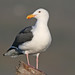 Western Gull - Photo (c) Jamie Chavez, some rights reserved (CC BY-NC)