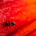 Ant on Lily Flower