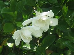 jasmine, shrub, flower, plant, flora, gardenia,