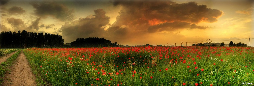 Poppies field III