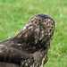 Small photo of Marsha the Buzzard