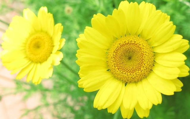 Yellow Chamomile / Anthemis tinctoria / 荒野カミツレ(こうやかみつれ)
