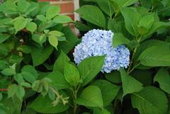 shrub(1.0), cornales(1.0), flower(1.0), leaf(1.0), hydrangea serrata(1.0), plant(1.0),