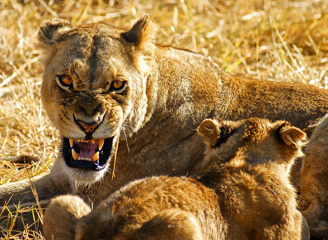 angry lioness - photo #31