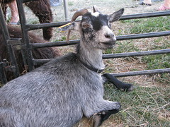 sheeps(0.0), sheep(0.0), pasture(0.0), animal(1.0), mammal(1.0), goats(1.0), domestic goat(1.0), fauna(1.0), goat-antelope(1.0),