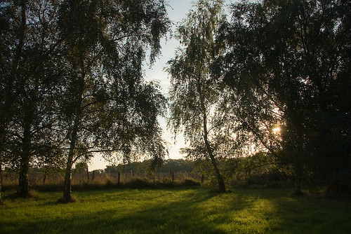 Silver Birch trees at the end of the day