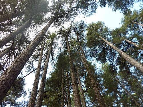 Superbes laricii de la haute vallée du Tavignanu