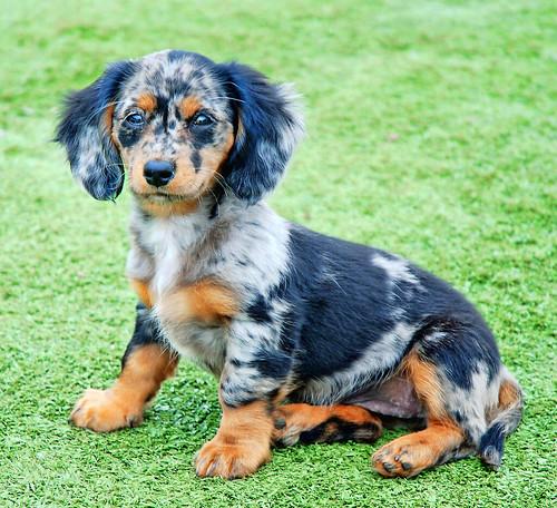 Dapple Dachshund Dog - Pets