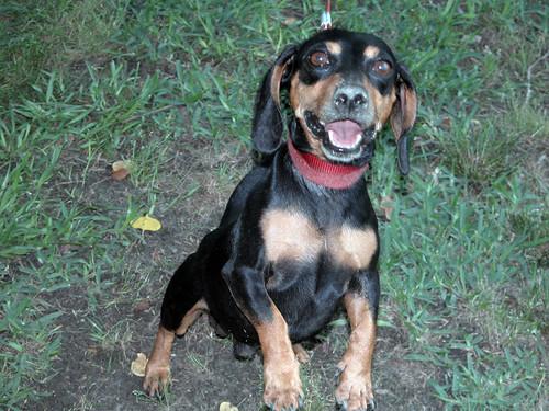 dachshund memorialday