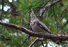 Common Nighthawk in a Tree