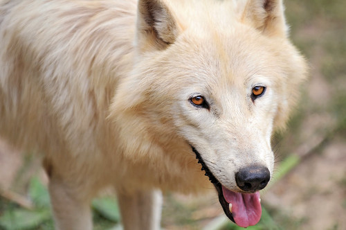 Cute arctic wolf by Tambako the Jaguar