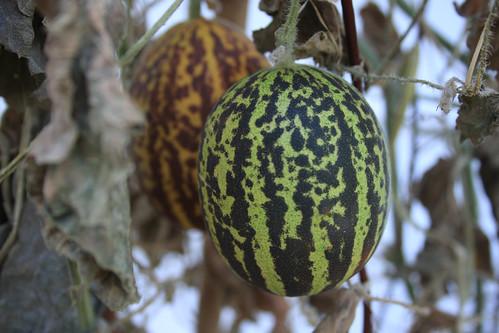 Plum granny - Appalachian garden favorite